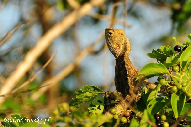 Fot. Jaszczurka w parku narodowym Yala