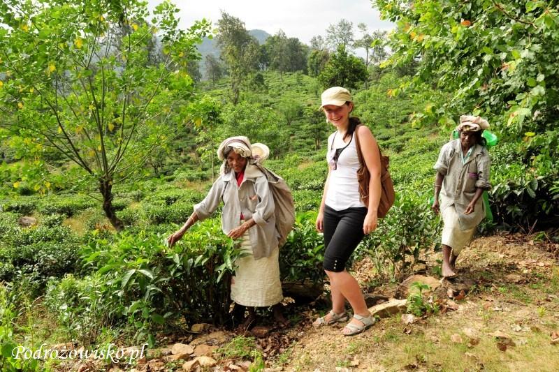 Zbieraczki herbaty (2)