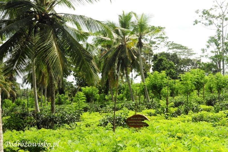 Fabryka herbaty w Ahangama (2)
