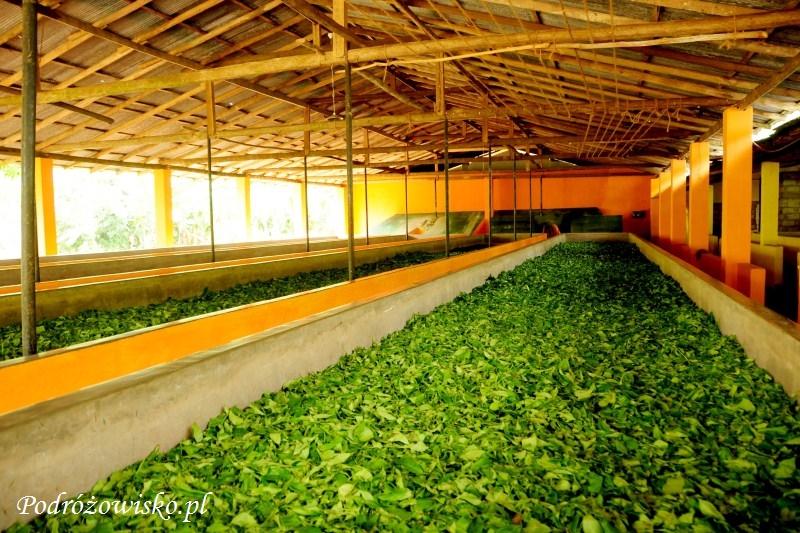 Fabryka herbaty w Ahangama (9)