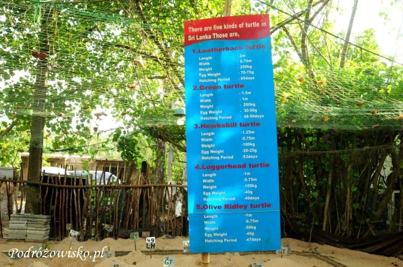 Farma żółwi w Kosgoda (1)