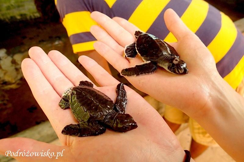 Farma żółwi w Kosgoda (11)