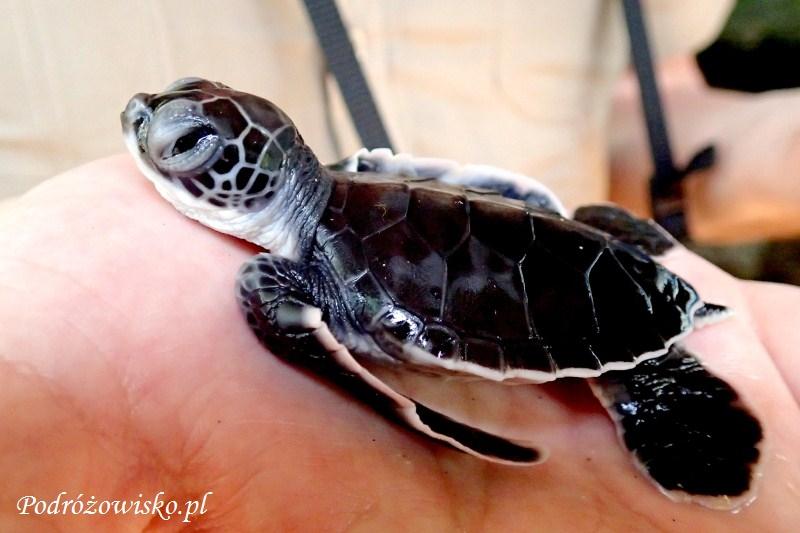 Farma żółwi w Kosgoda (12)