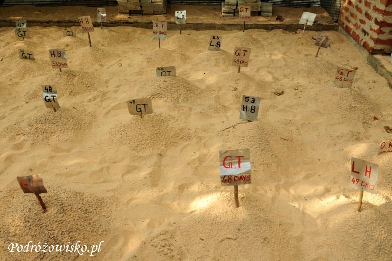 Farma żółwi w Kosgoda (2)