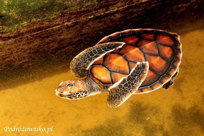 Farma żółwi w Kosgoda (5)