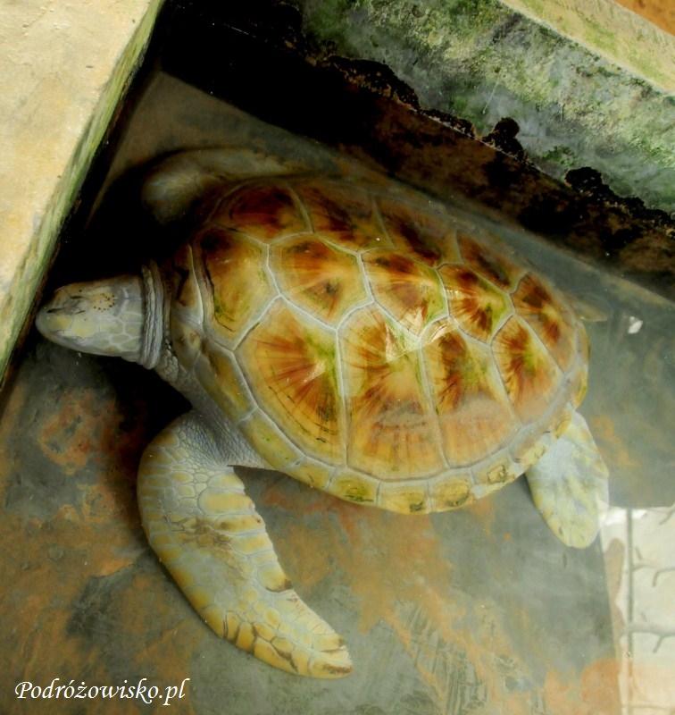 Farma żółwi w Kosgoda (9)