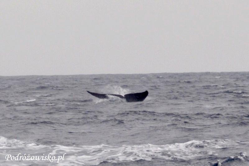 Mirissa - wieloryby (1)