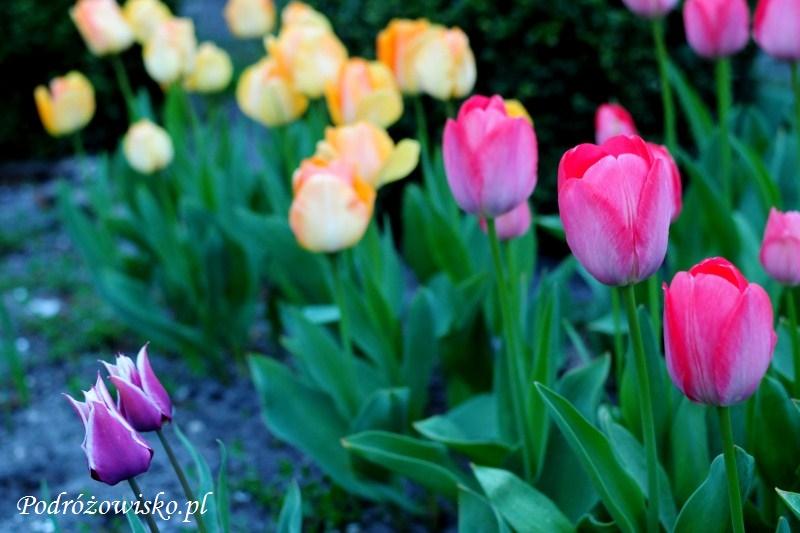 Tulipany (3)