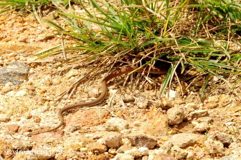 Wąż Koggala