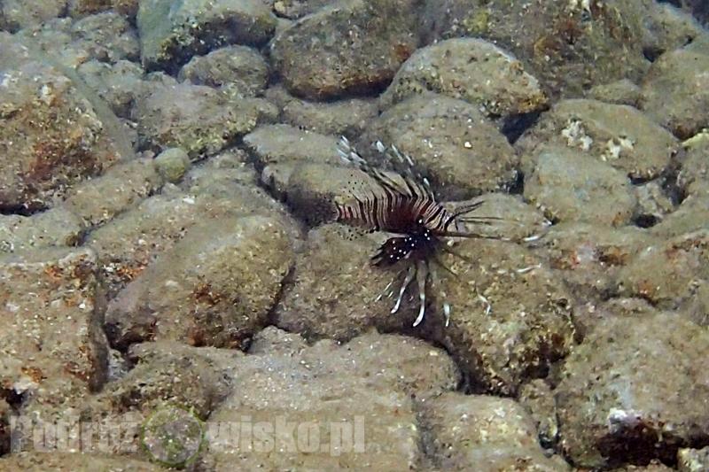 Rafa koralowa - skrzydlica