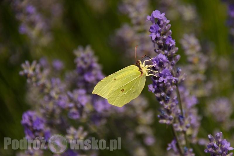 lawenda w Polsce