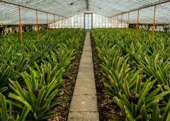 Azory: Plantacje ananasów na Sao Miguel