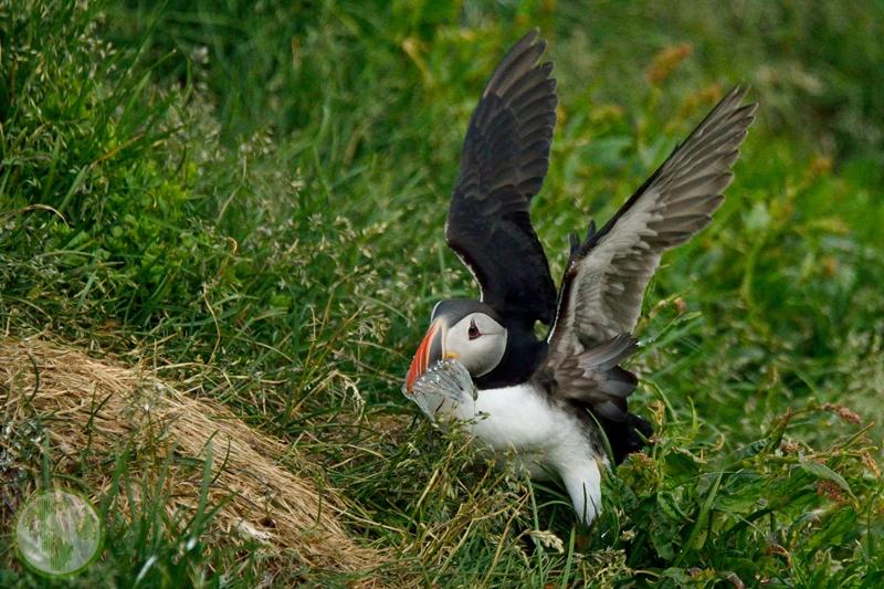 Maskonury na Islandii