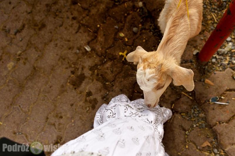 kozi targ w Nizwie