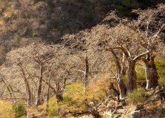 Oman: Jedyne baobaby w Arabii?